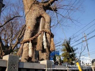 御神木でしょうか、縄が結ばれています