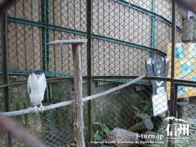 須坂市動物園のごい鷺