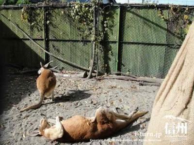 須坂市動物園のアカカンガルー「ハッチ」