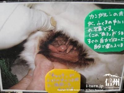 カンガルーの赤ちゃん