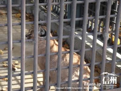須坂市動物園のカラカル