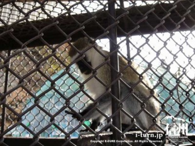須坂市動物園のサバンナモンキー