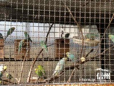 須坂市動物園のセキセイインコ