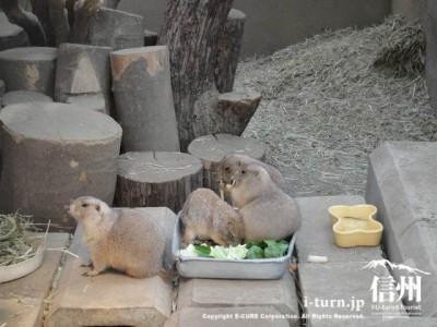 須坂市動物園のプレーリードック