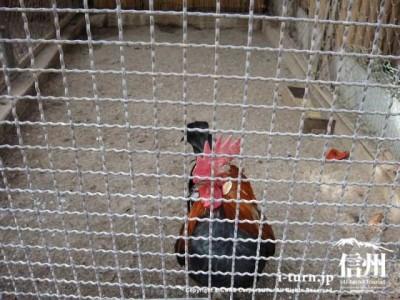 須坂市動物園のミノヒキチャボ