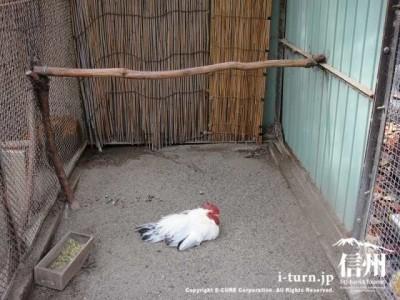 須坂市動物園のカツラチャボ