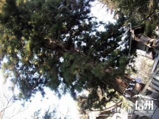 大きな杉の木