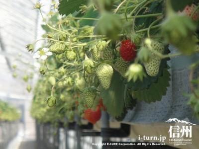 イチゴの棚風景