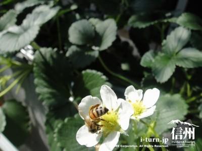 蜂のお尻のシマシマ