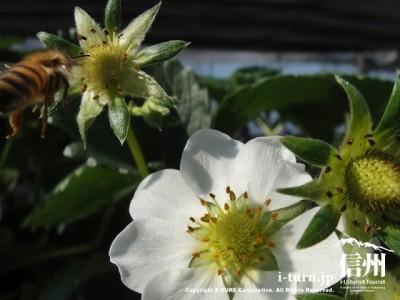 蜂が花にとまりますよ