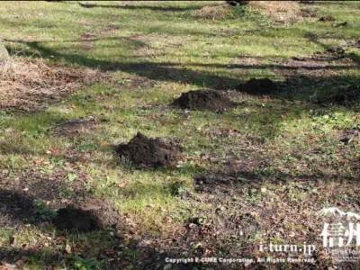 高遠城址公園内のモグラのボコボコ