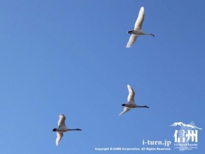 空飛ぶ白鳥3羽