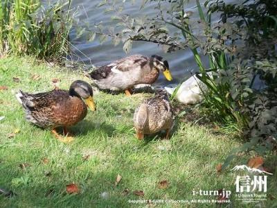矢ケ崎公園 矢ケ崎公園池と鴨Ⅱ