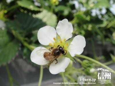 蜜蜂も大忙しです