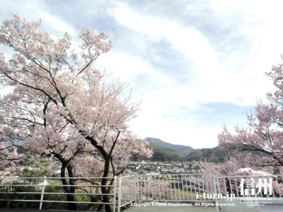 道沿いの桜は満開
