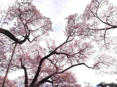 冬には枝だけだった桜が見事