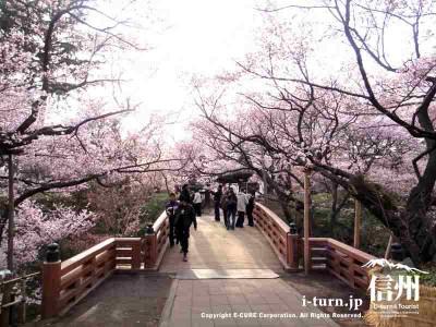 橋の上はさくらが目の前まで来ています