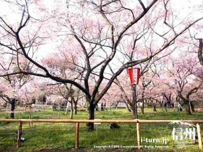 新宿区長の植えた記念桜にも花