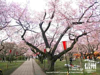 夜桜用にスポンサー名入りの提灯