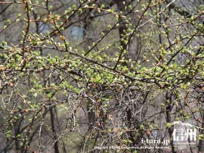落葉松の芽吹き
