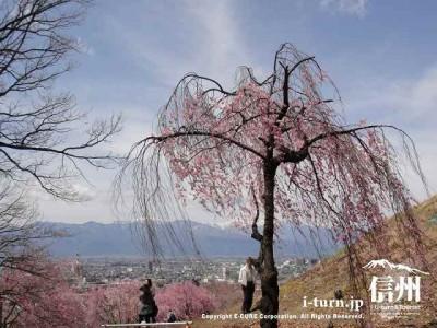 頂上付近の枝垂れ桜