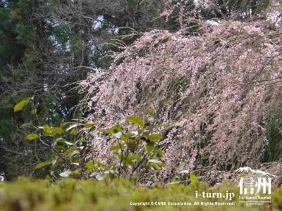 シダレ桜は少し早い