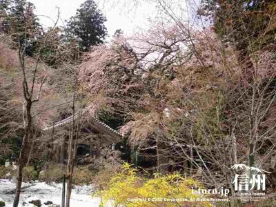 鐘楼前の桜もまだまだ