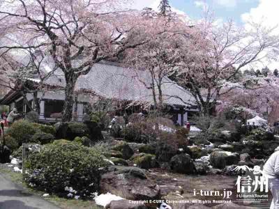 大講堂前の桜