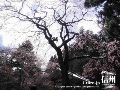 見事なシダレ桜