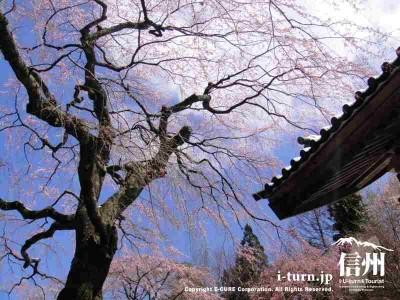 鐘楼前のシダレ桜はかなりの年代モノ