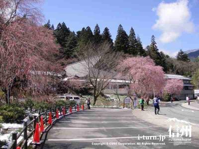 駐車場の桜も咲きつつあります
