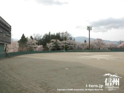 球場も桜一色
