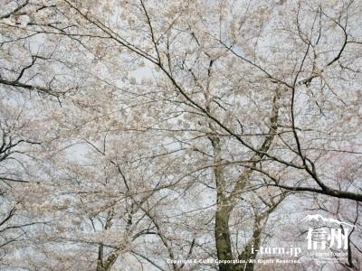 見上げても桜桜桜