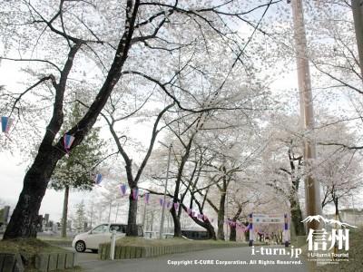 メインの通路桜の花道