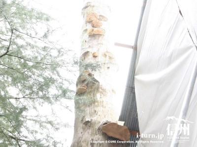 秋宮一之御柱にキノコが生えてます