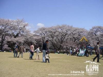 とても大きな桜が多いです