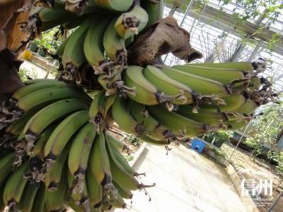 緑色のバナナ