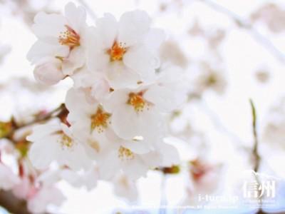 雪の日の桜