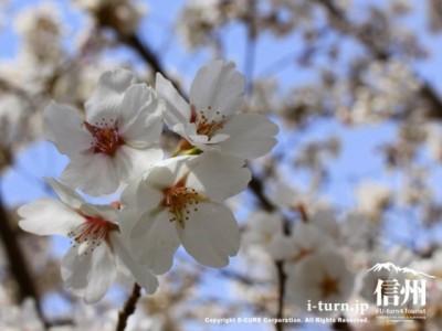 晴れた日の桜