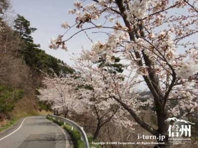 桜咲く林道