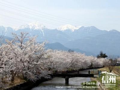 堰沿いに咲く桜