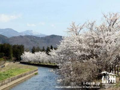 桜並木の遠くに東山