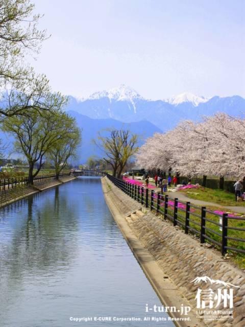 堰の向こうに常念、脇に桜