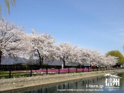 対岸から見た桜