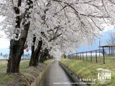 用水路と桜並木