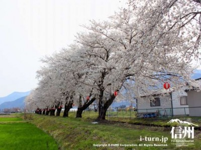 約30本の桜並木