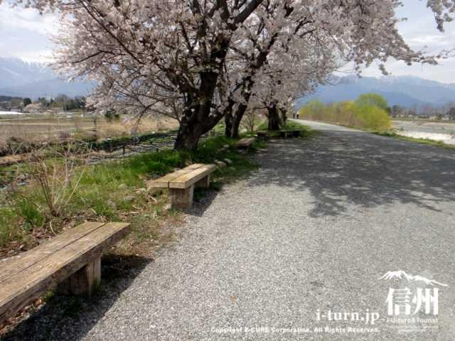 桜の下のベンチ