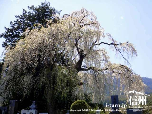 田多井地区の枝垂れ桜|見事な枝垂れ桜が点在する集落|安曇野市堀金