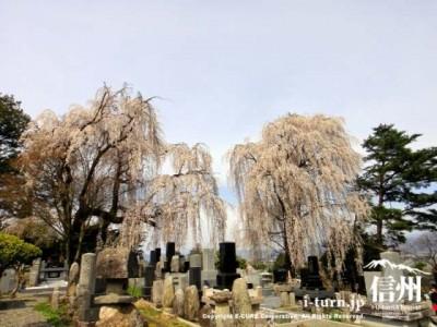 シダレザクラの巨木が二本