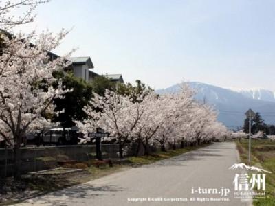 桜並木が続く散歩道